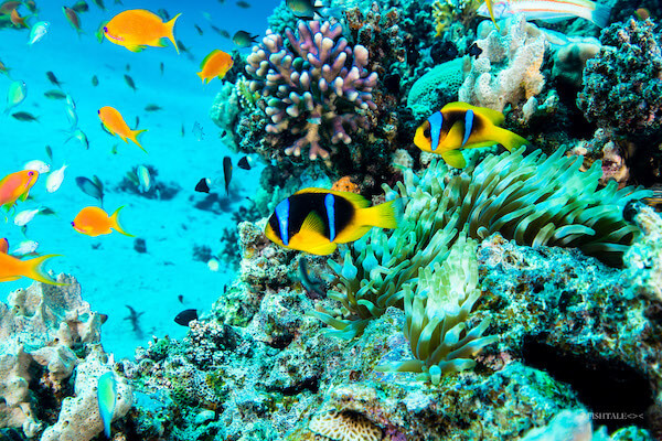 corali marea rosie