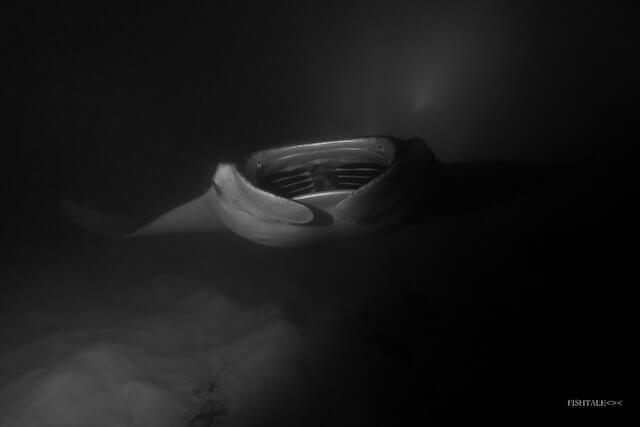 diavolii de mare(manta alfredi) fishtale.ro fotografie subacvatica