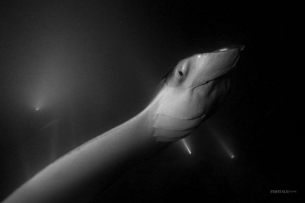 manta alfredi, fistale.ro, fotografia subacvatica
