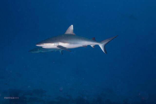 rechinii, scufundari cu rechini, fishtale.ro, fotografie subacvatica