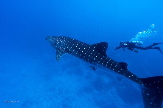 rechin, fotografie subacvatica, fishtale.ro,