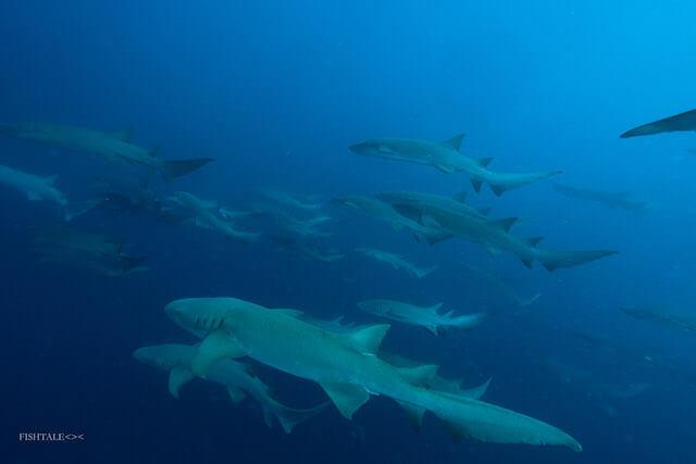 fotografie subacvatica - rechinul doica - nurse shark  by fishtale.ro