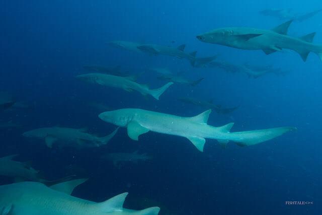 rechin doica