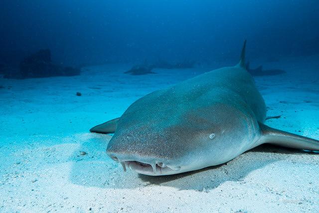 rechinul doica - nurse shark  by fishtale.ro